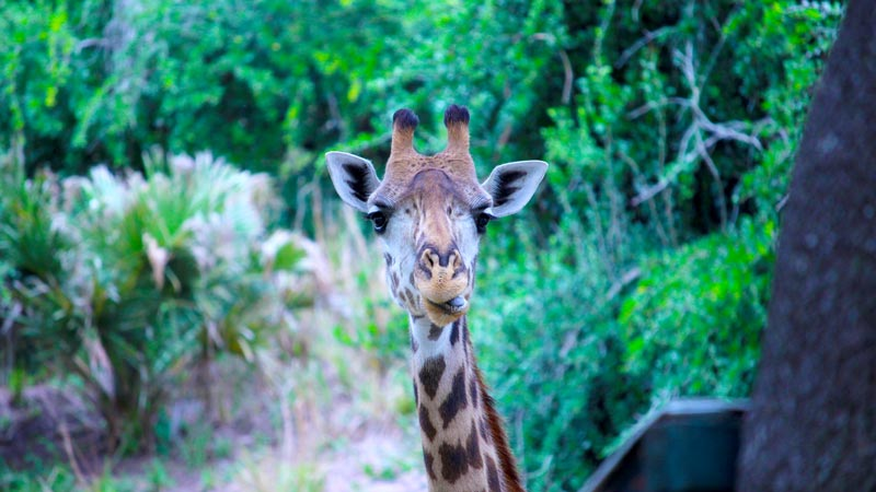 Up close Giraffe