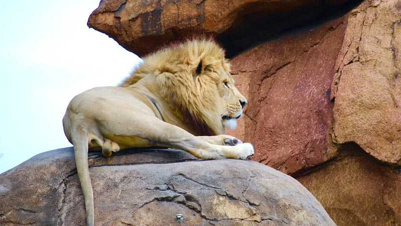 Lion Disney Animal Kingdom Wild Africa Trek