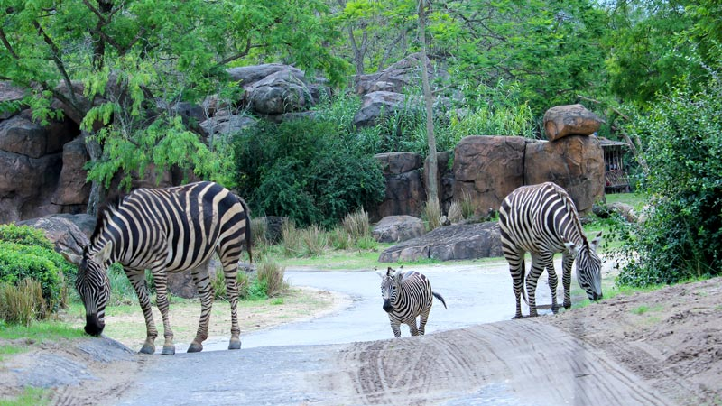 Zebra walking across path Wild Africa Trek