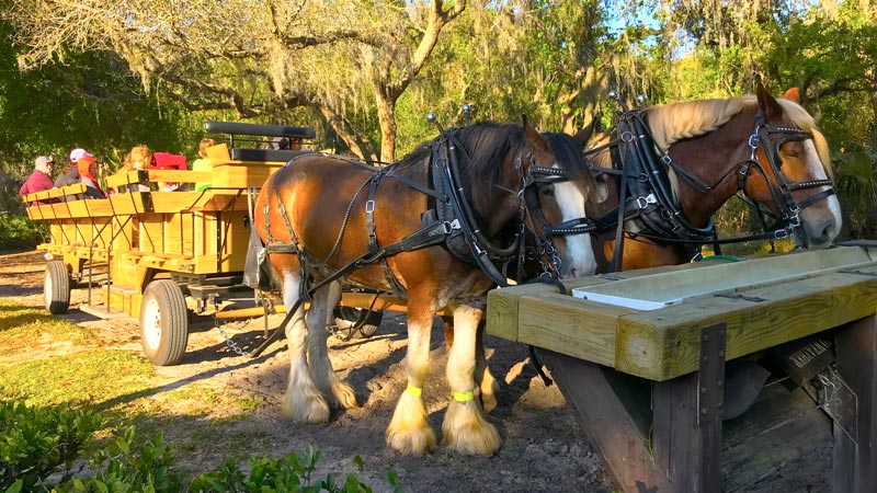 disney world horse carriage rides