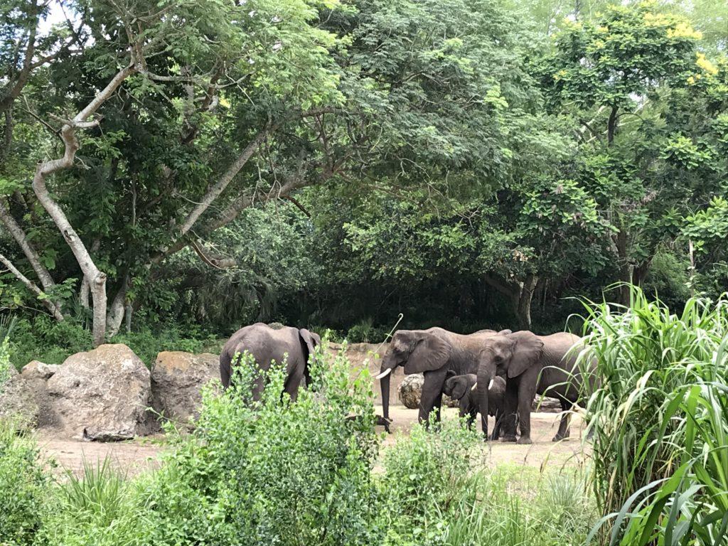 Elephants at Disney Animal Kingdom