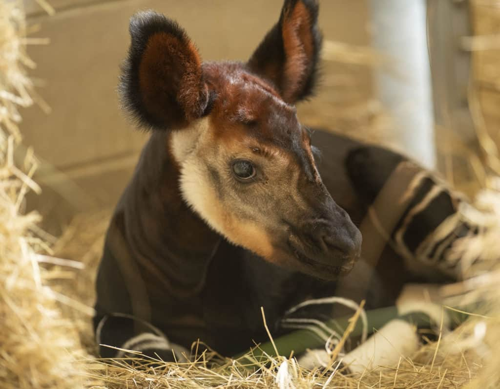 World Okapi Day